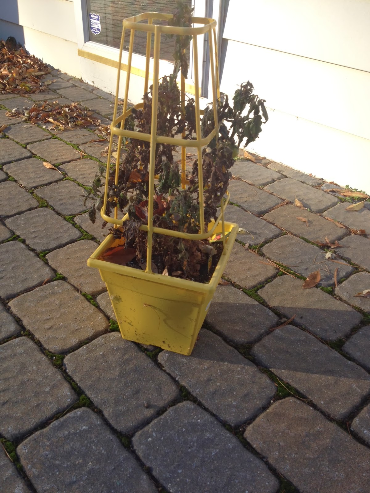 Two It Yourself $2 DIY Small Potted Christmas Trees from Patio