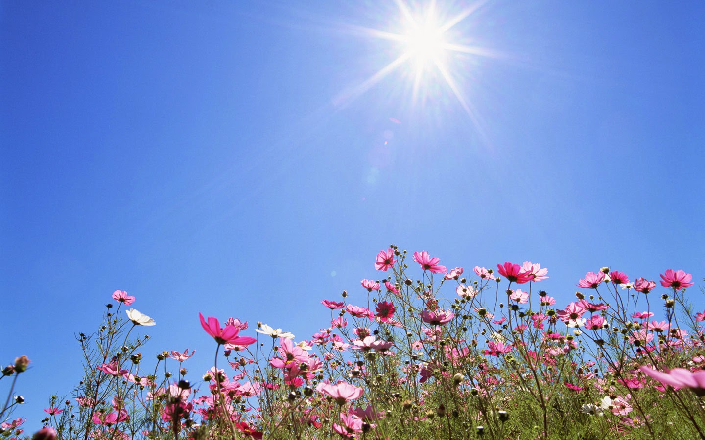 Sunshine over cosmos flowers