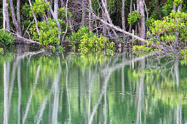 mangrove trees, water, reflection