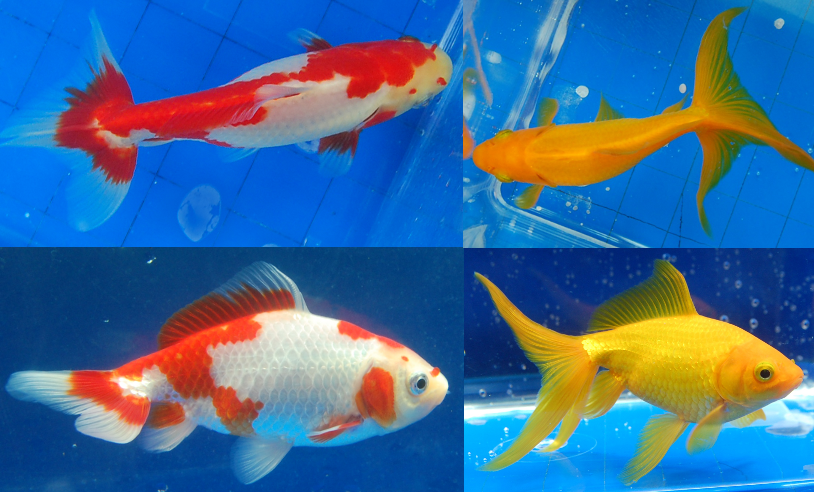 The gallery for --> Imperial Goldfish