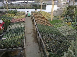 Jual_Tanaman_Hias_Kaktus
