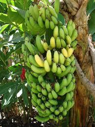 Olanchito, plantacion de bananos, enfermedad del banano,FHIA,