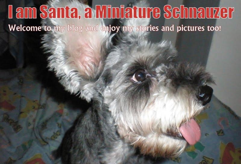 I am Santa, a Miniature Schnauzer
