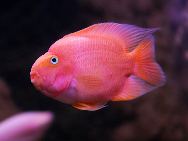 peces y plantas ornamentales cichlasoma spp c clido