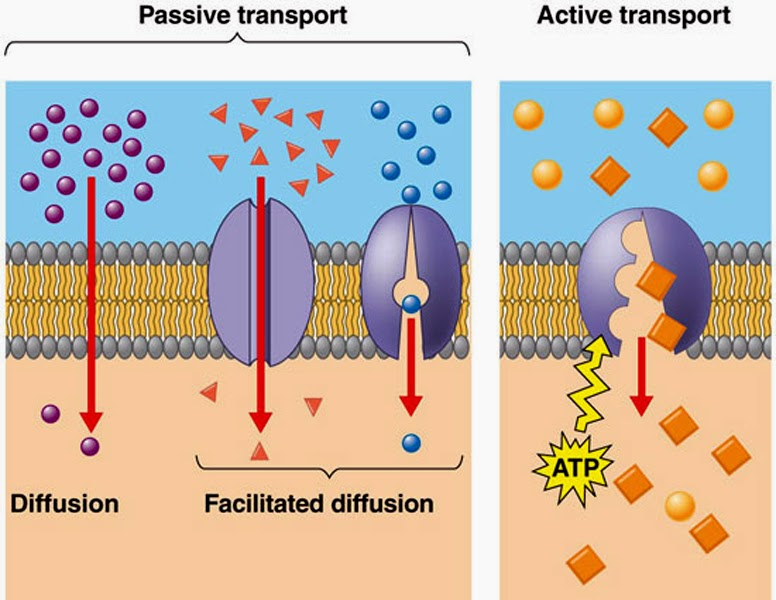 cell membranes and transport These proteins are very specific about what they transport for example, your cell membranes have transporters that  cell membrane: functions, role & structure.