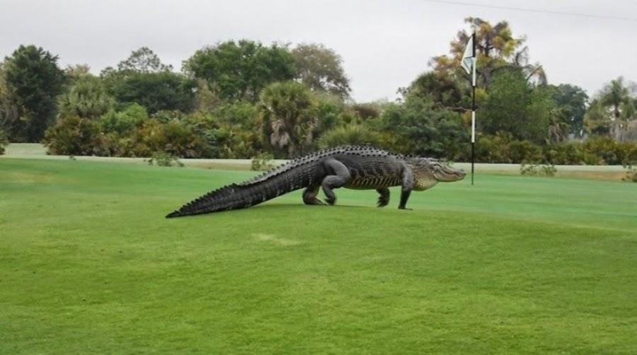 http://freshsnews.blogspot.com/2015/03/krokodeilos-golf.html