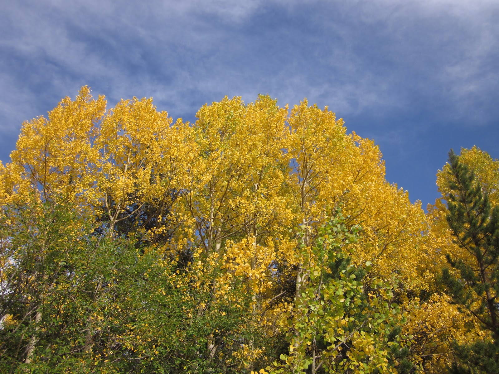 The Land of Melting Shadows: Anatomy of an Aspen Tree