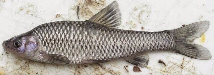 http://hackneycitizen.co.uk/2015/02/03/clissold-park-ponds-poisoned-wipe-out-deadly-topmouth-gudgeon-fish/