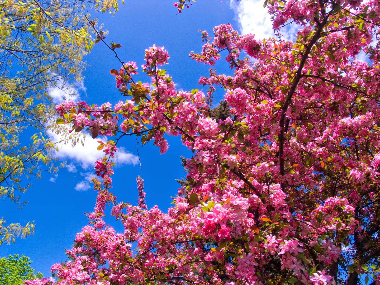 Pink flower garden wallpapers for Tree with red flowers