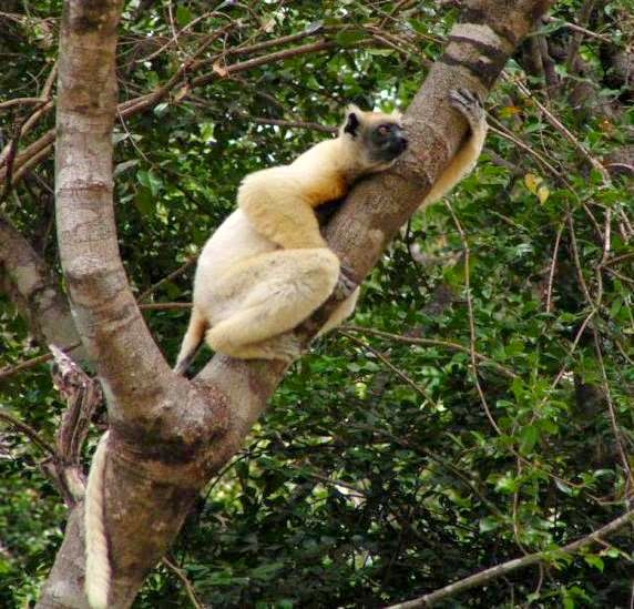 Tattersall's sifaka resting on tree trunk