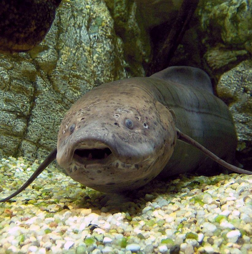 Real Monstrosities: Lungfish