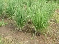 jual tanaman herbal