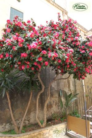 La sicilia delle camelie for Camelia japonica in vaso