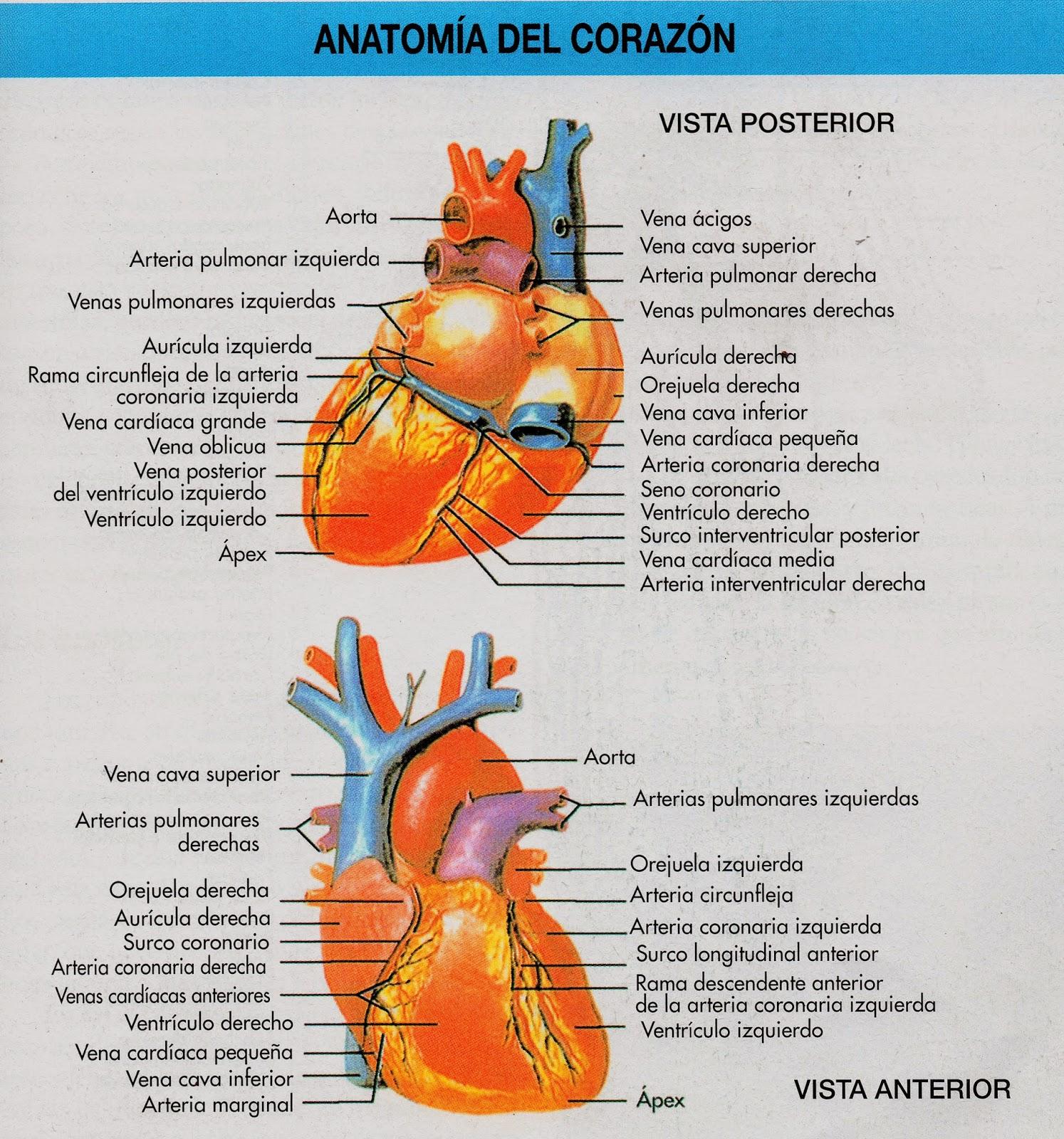 Magnífico Anatomía Del Seno Coronario Galería - Imágenes de Anatomía ...