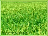 Paddy or rice fields in Sekinchan, Selangor, Malaysia