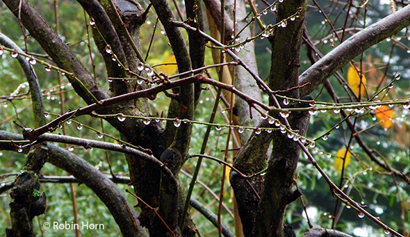 Raindrops Hanging from Plum Branches