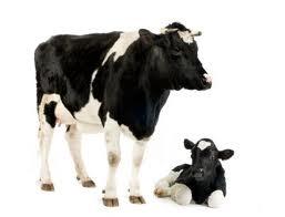 la leche proviene de la vaca