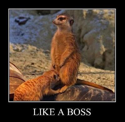 like a boss meerkat