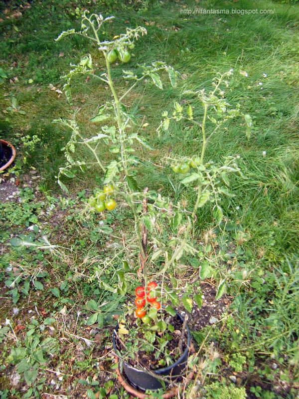 Le avventure della mia fantasia coltivare il pomodoro nel for Piante pomodori in vaso
