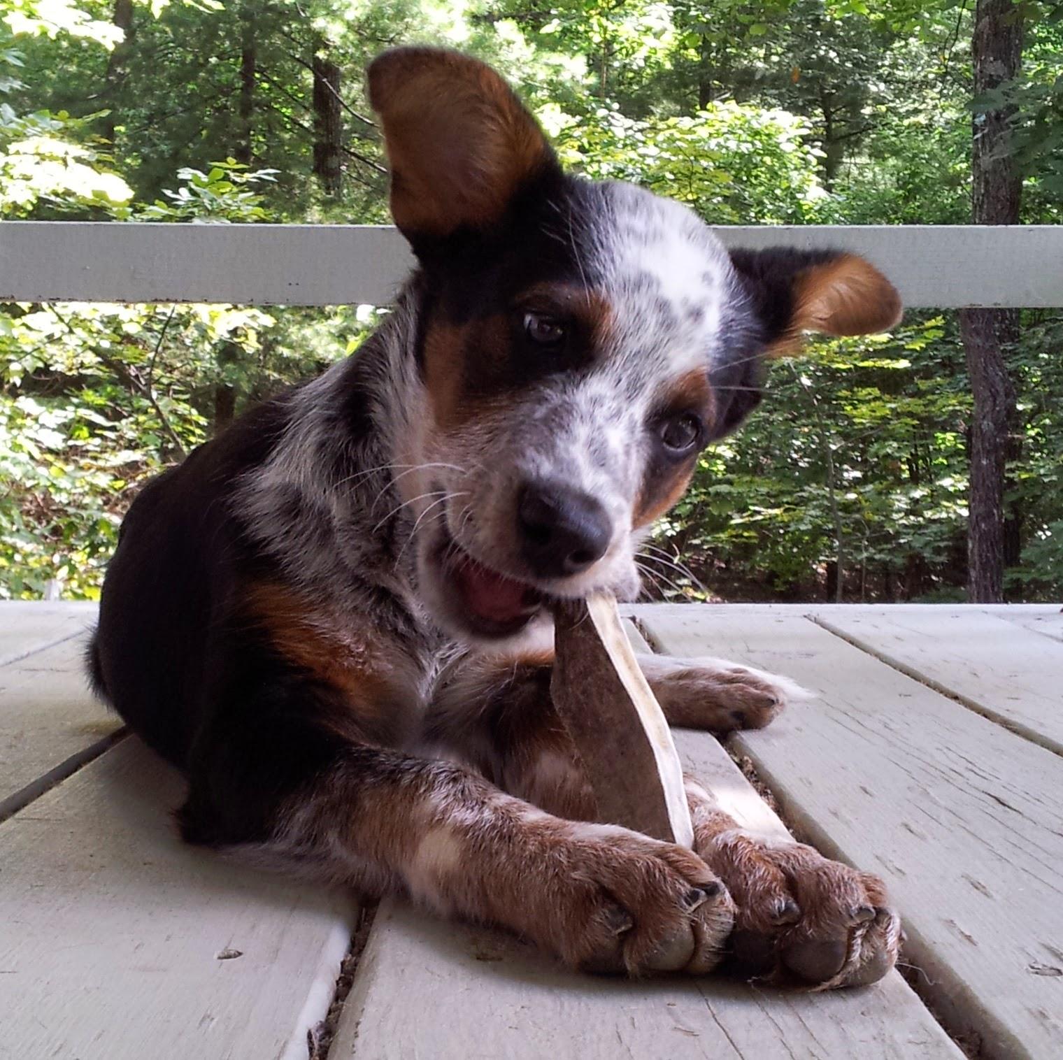 the days of johann an agility dog best bully sticks 39 moose antlers rock. Black Bedroom Furniture Sets. Home Design Ideas