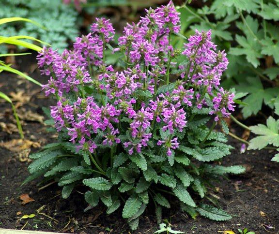 Piante e fiori stachys for Fiori perenni pieno sole