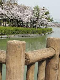 toyoake park - sakura