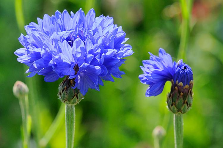 Le bleuet flore de l le de la r union for Entretien jardin reunion