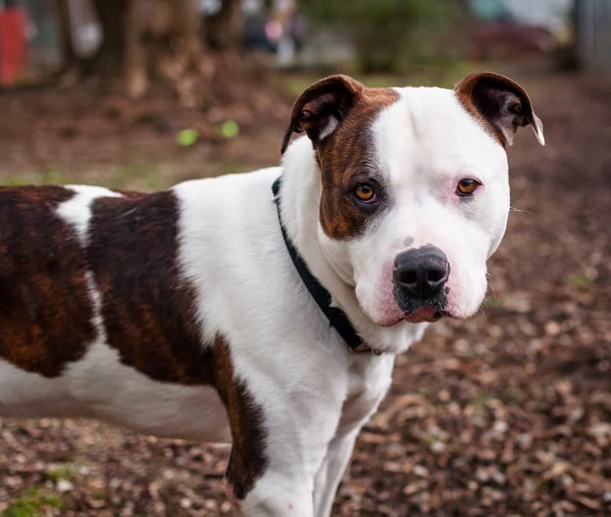 Pitbull Dog Video Free Download