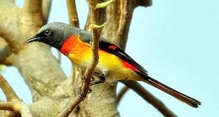 Jenis Jenis Burung Sepah / Kuniran