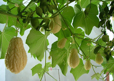 Cultivo de chuchu