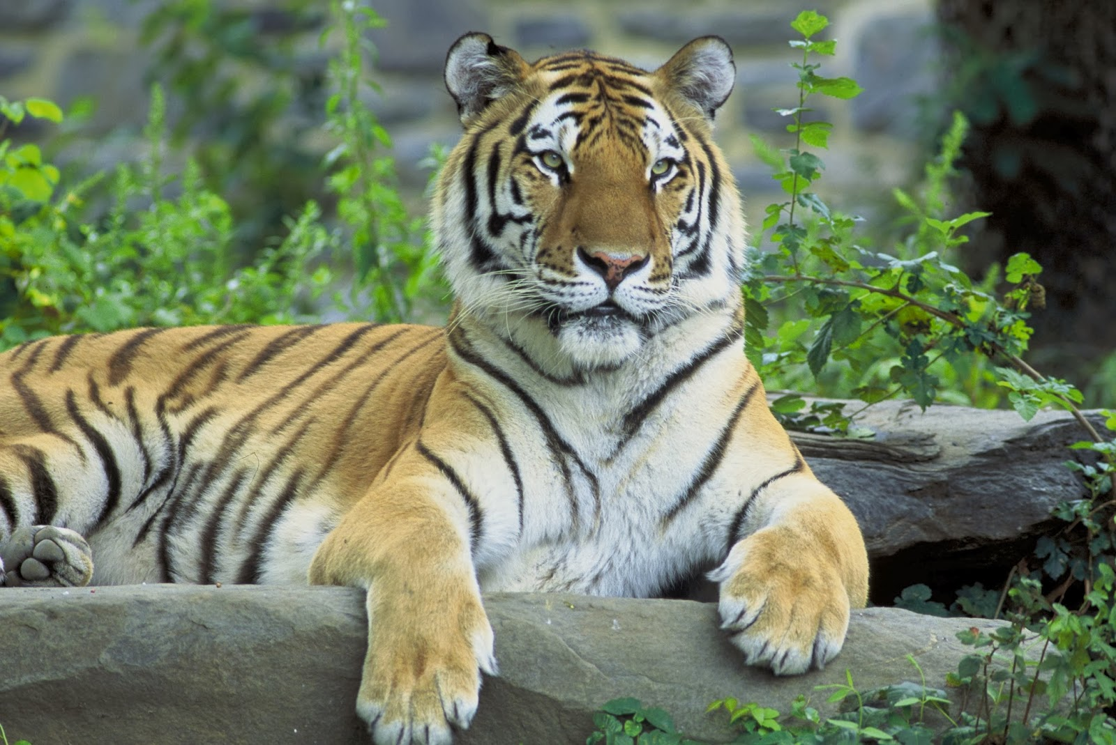 All new wallpaper tiger hd wallpapers - Tiger hd wallpaper for pc ...