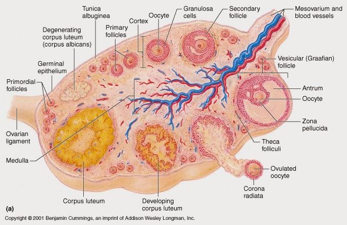 Ciencias de Joseleg: Anatomía de los ovarios
