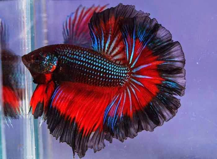 Lovable images fish wallpapers free download images for Cute betta fish