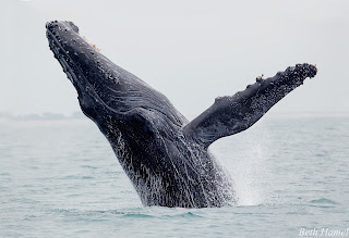 Breaching Humpback Whale © Beth Hamel