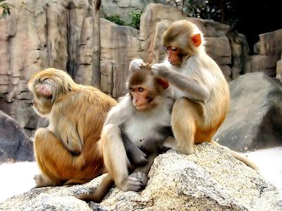 Monkey HD Wallpapers