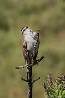 White-crowned Sparrow signing
