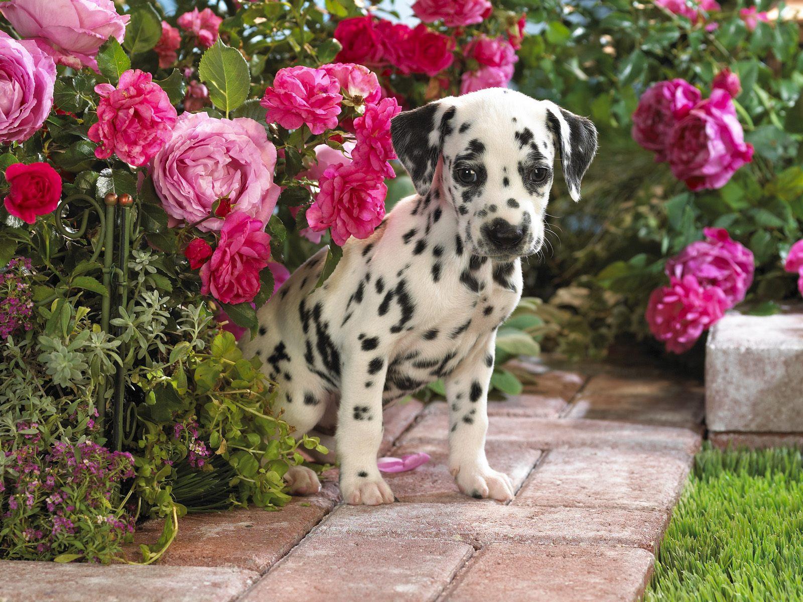 http://1.bp.blogspot.com/-PmXgEm6RMbE/Th7-zH_GL8I/AAAAAAAAAC4/PzqXzOj2W60/s1600/Dalmatian+Dogs+Wallpapers+4.jpg