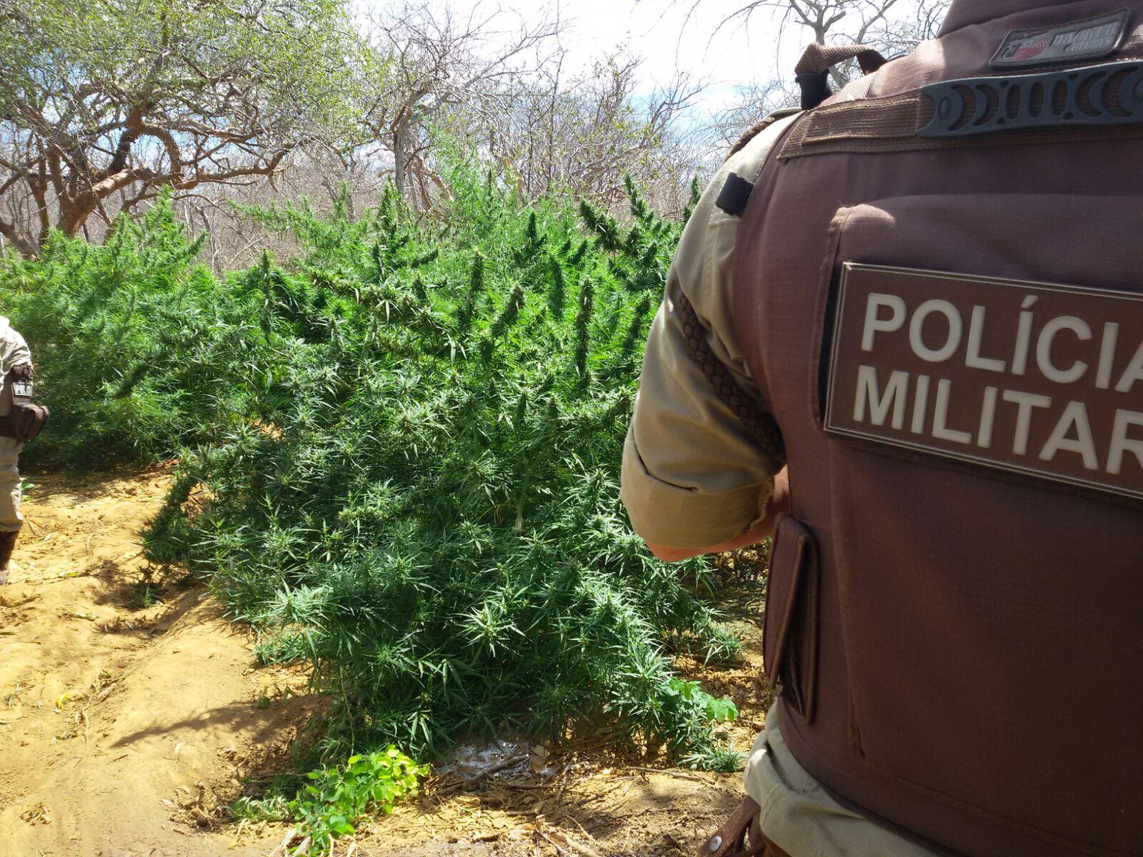 Polícia erradica mais de 2.500 pés de maconha na região de Irecê