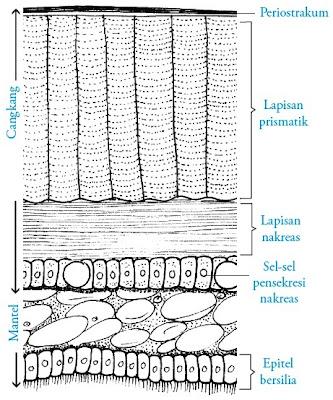 Penampang melintang cangkang bivalvia