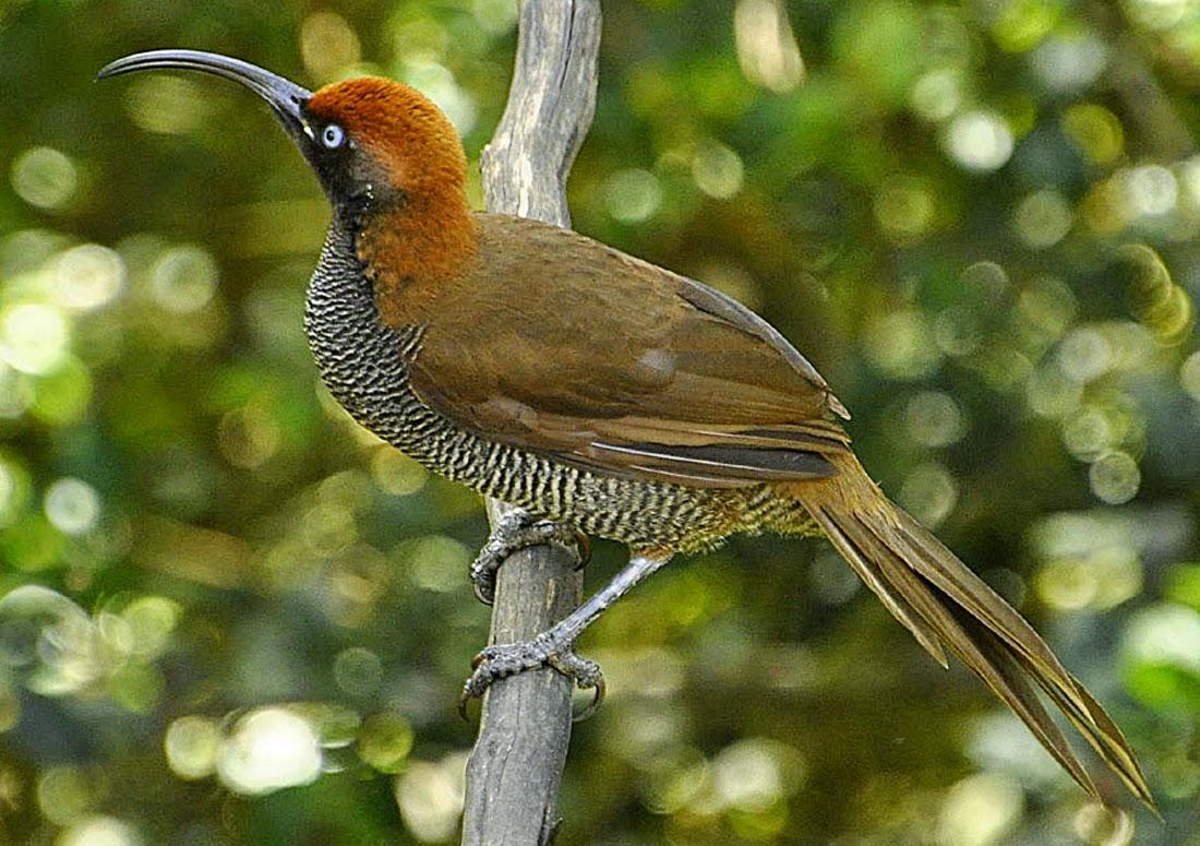 Foto Burung Cantik Jantan