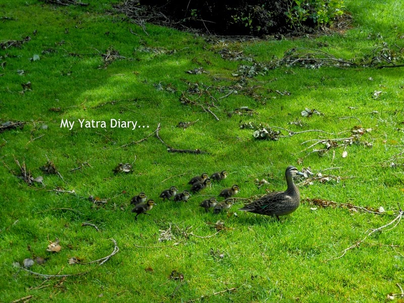 Little family of chicks at the Fitzroy Gardens, Melbourne Australia