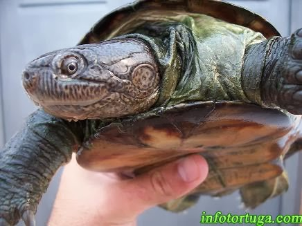 Pelusios subniger - East African black mud turtle
