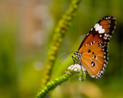 Mariposa fondo de pantalla