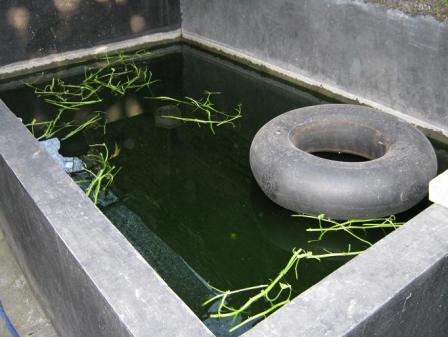 kolam untuk budidaya sidat diusahakan berwarna hijau dan diberi tempat