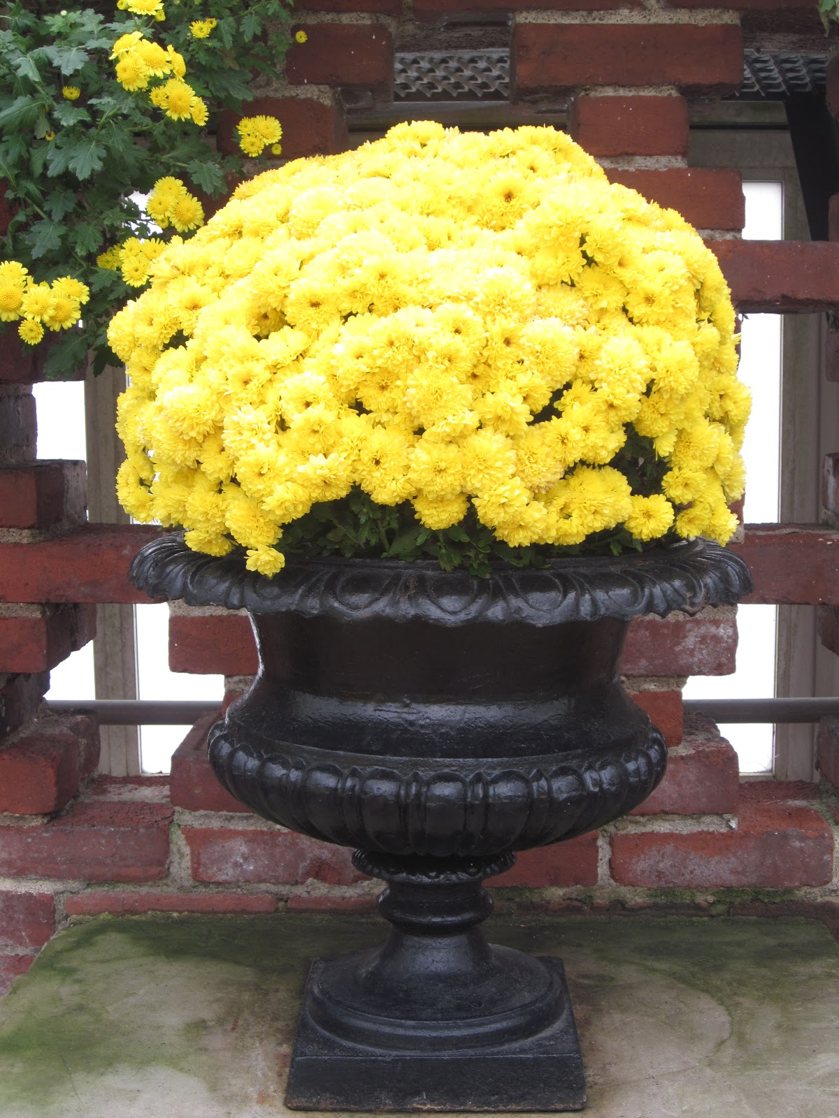 Garden discoveries phipps fall flower show 2012 the yellow mums really pop against the black urn mightylinksfo