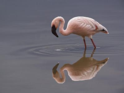 Beautiful Flamingo wallpaper