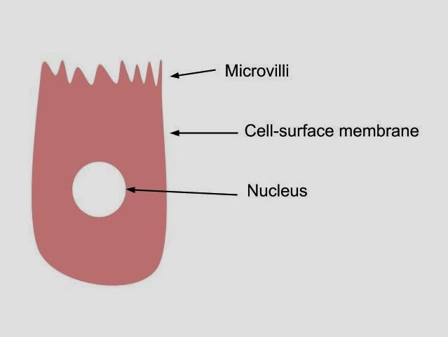 as biology the structure of an epithelial cell from the small rh hannahhelpbiologyas blogspot com