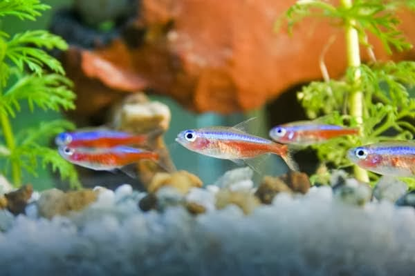 Neon tetra fish paracheirodon innesi tropical fish for Neon fish tank