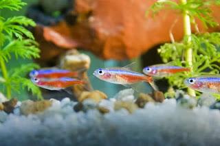 neon tetra fish aquarium
