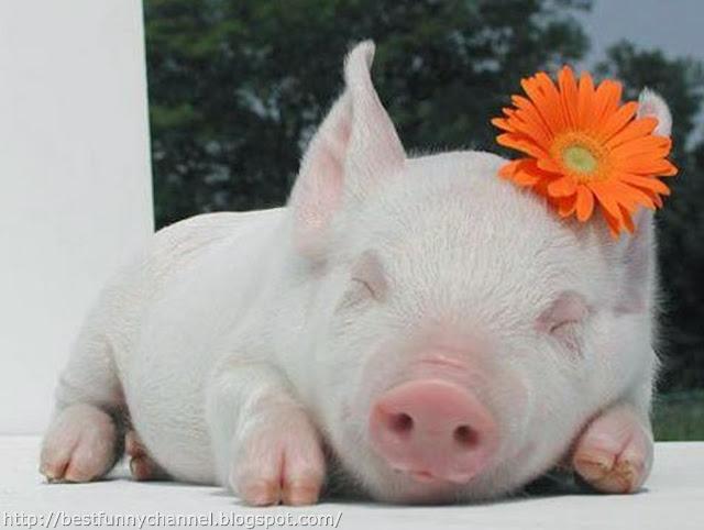 Funny sleeping pig.